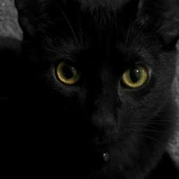 blackcat blackandwhite bw black cat freetoedit