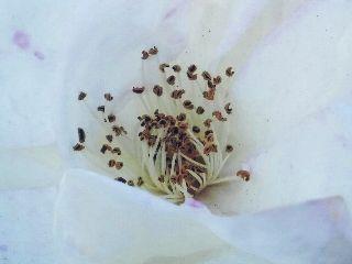 rose zoom white travel freetoedit