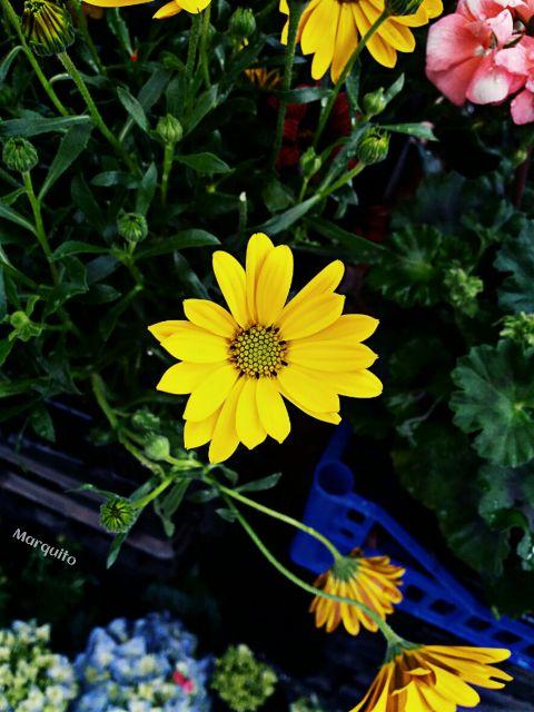 hdr crispeffect flower flowerphotography yellow