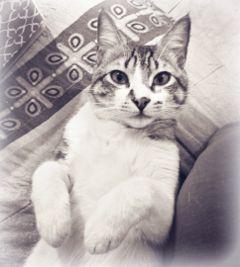 cats blackandwhite petsandanimals