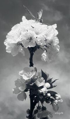 blackandwhite flower nature spring