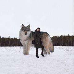 wolf freetoedit