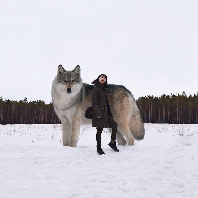 #wolf #FreeToEdit