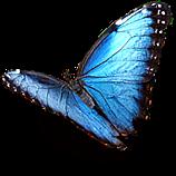 blu butterfly freetoedit