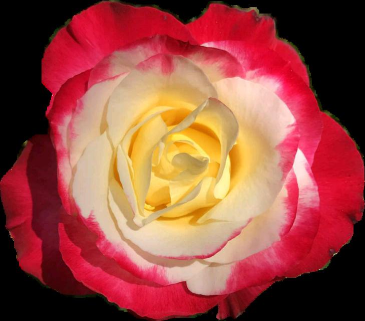 #Roses #roses #red #white #flores #rosas #flowers #rojo #blanco