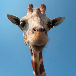 freetoedit animal cute giraffe wild