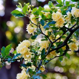 freetoedit flowers yellowflowers yellow spring